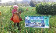 Petani Gowa Panen Daun Bawang di Lokasi Percontohan Organik