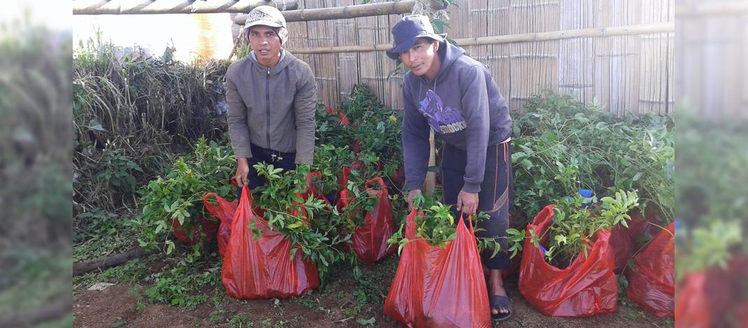 Bp. Rusli & Suardi sedang menyiapkan tanaman markisa / Foto : Jamaluddin
