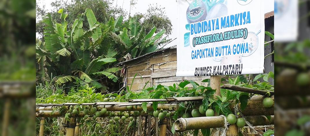 Lokasi Budidaya Buah Markisa Bumdes Kalpataru