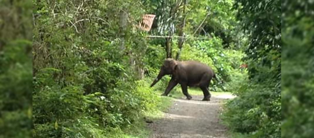 Seekor anak gajah liar sedang melintasi salah satu jalan yang biasanya dilintasi warga untuk pergi ke kebun dan ke sawah di Pemukiman Warga Lala (08/01/2016). Foto : Qamaruzzaman Lala
