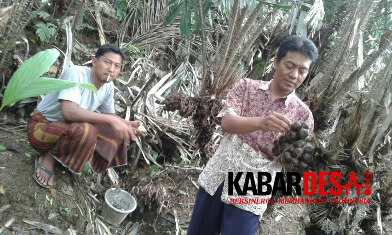 Petani Salak di Caringin, Bogor. (foto Muhayat)